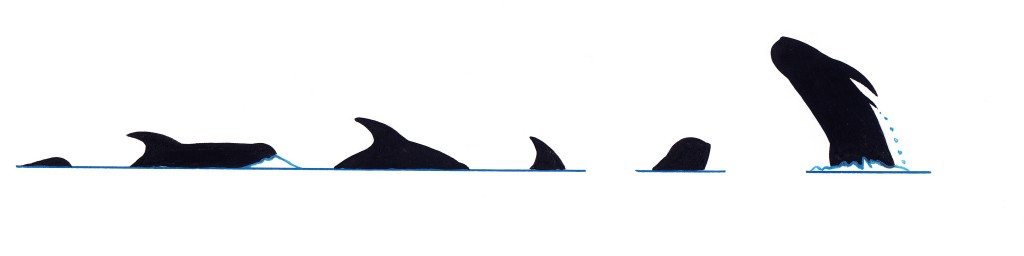 Risso's dolphin (Grampus griseus) - dive sequence