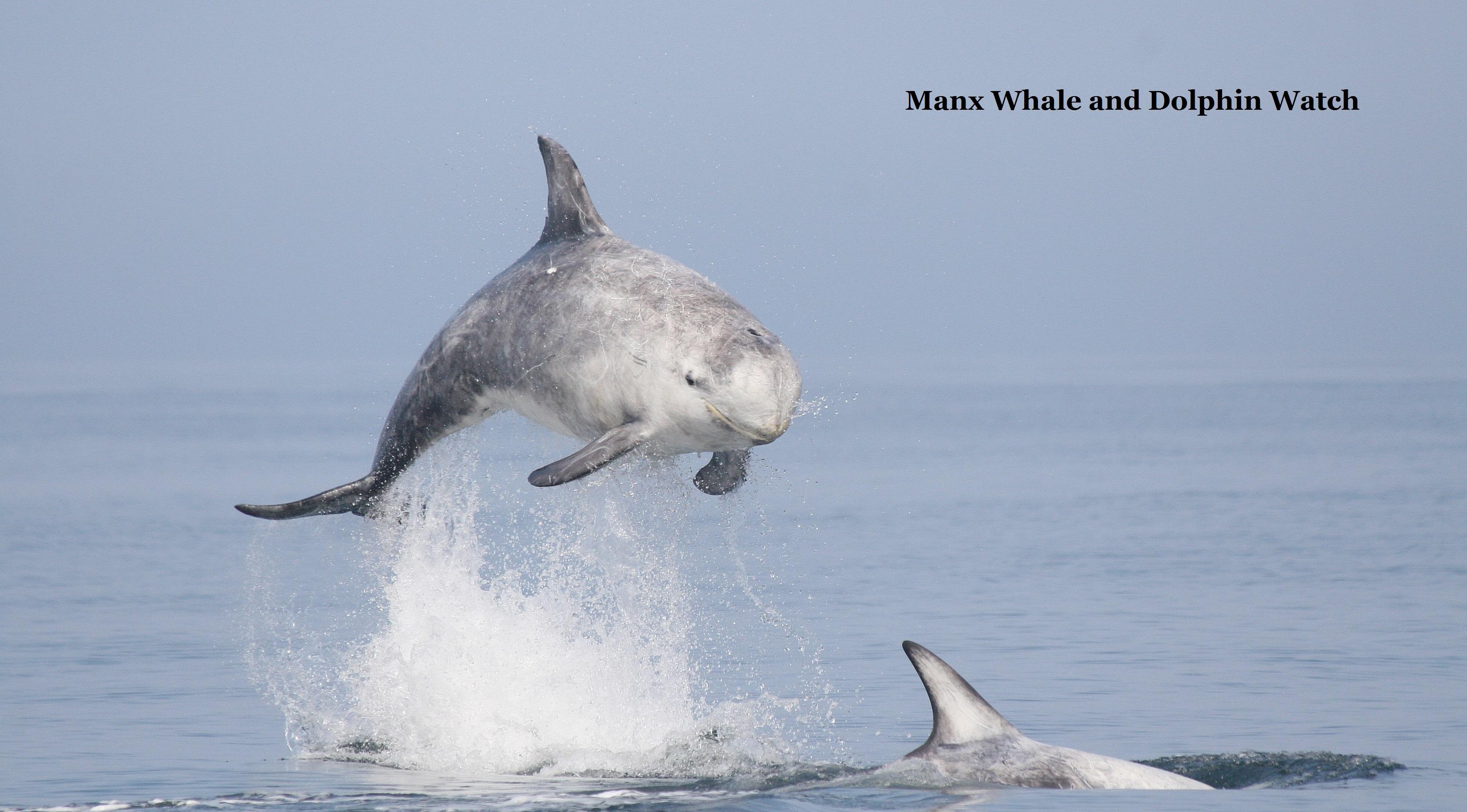 Risso's dolphin 2
