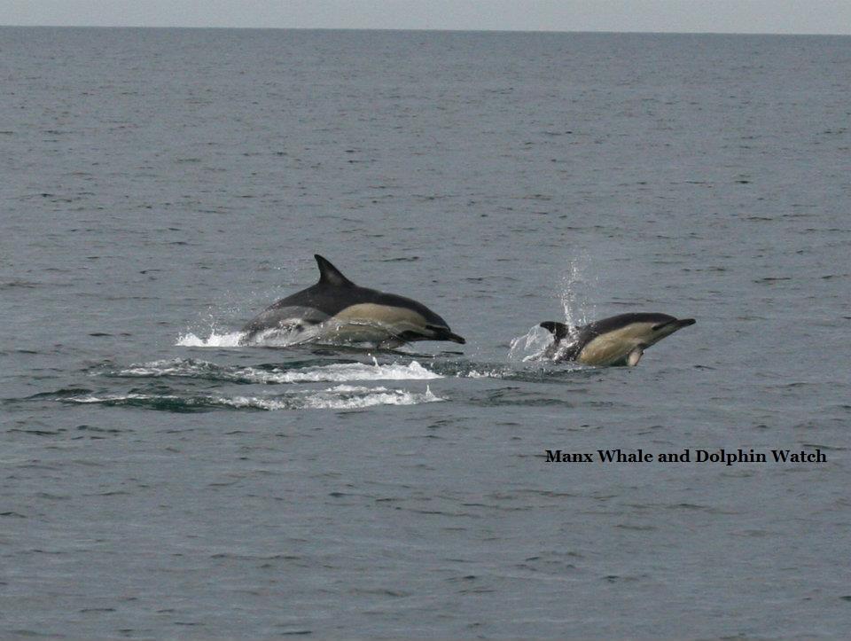 Short beaked common dolphin 2
