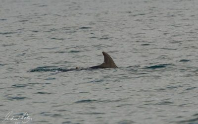 Well known Welsh dolphin spotted off Manx coast