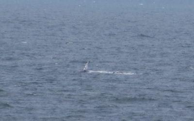 Humpback whale seen off the Manx coastline