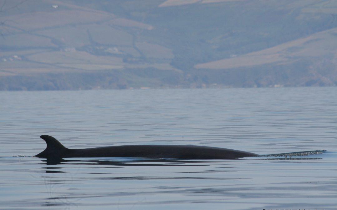 Spotting the Manx Big 5 Species of Cetaceans