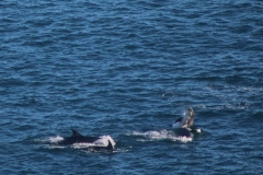 Bottlenose Dolphins - Emily Cleator