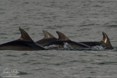 Bottlenose Dolphins - Mike Kelly