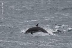 Bottlenose Dolphins - Mike Radcliffe