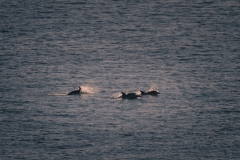 Common Dolphins - Mike Kelly