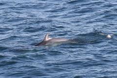 Minke Whale - Jeremy Rigby