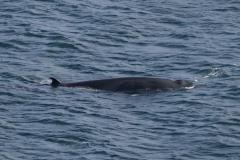 Minke Whale - John Cowin