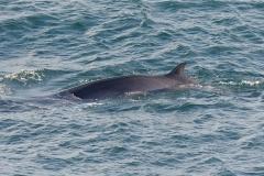 Minke Whale - PeterChristian