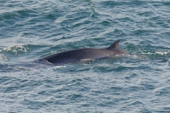 Minke Whale - Peter Christian