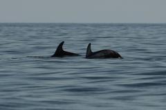 Risso's Dolphins - Beryl Quayle