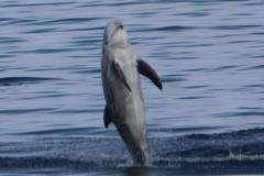 Risso's Dolphin - Nick Shimmin