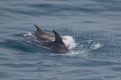 Risso's Dolphins - Peter Christian