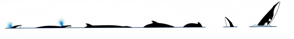 Minke whale (Balaenoptera sp) - dive sequence
