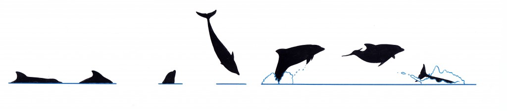 Bottlenose dolphin (Tursiops spp.) - dive sequence Surface profile of common bottlenose dolphin (Tursiops truncatus) and Indo-Pacific dolphin (T. aduncus)