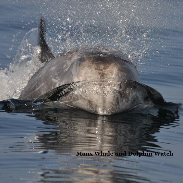 Risso's dolphin 3