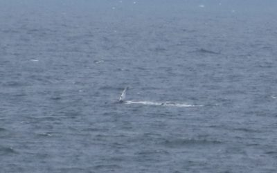 Humpback whale seen off the Manx coastline