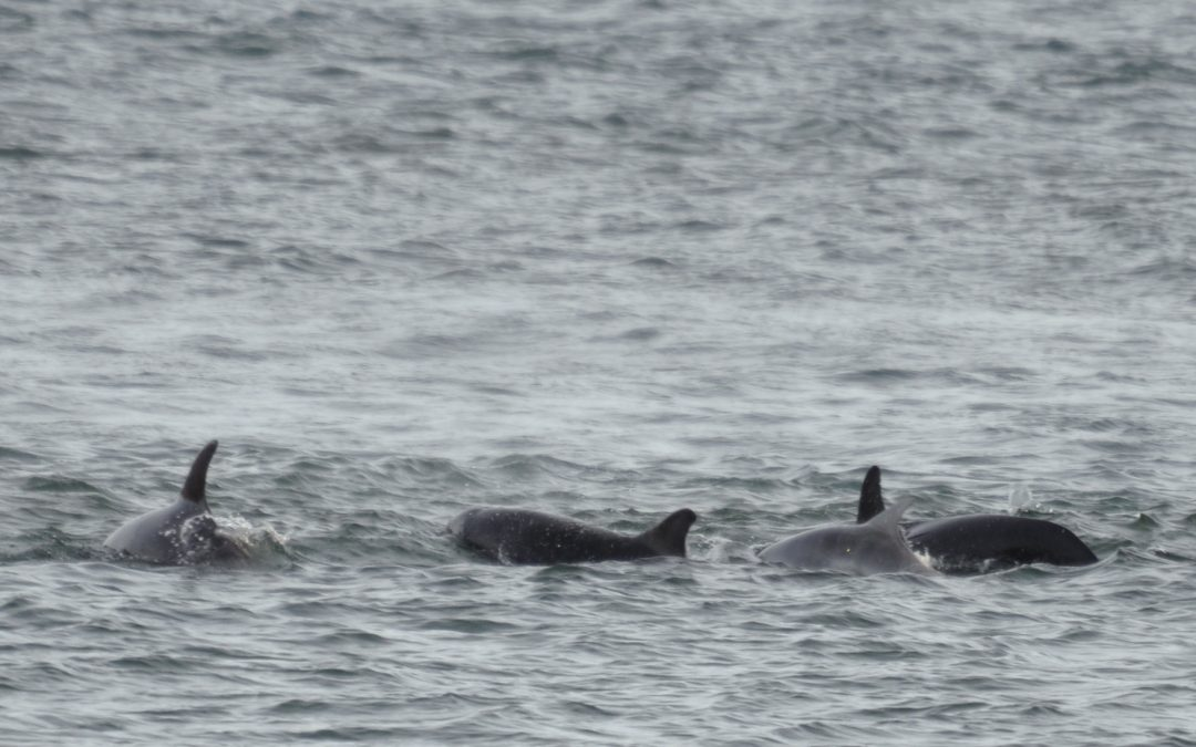 Family of Bottlenose dolphins stay in Peel for 4 months