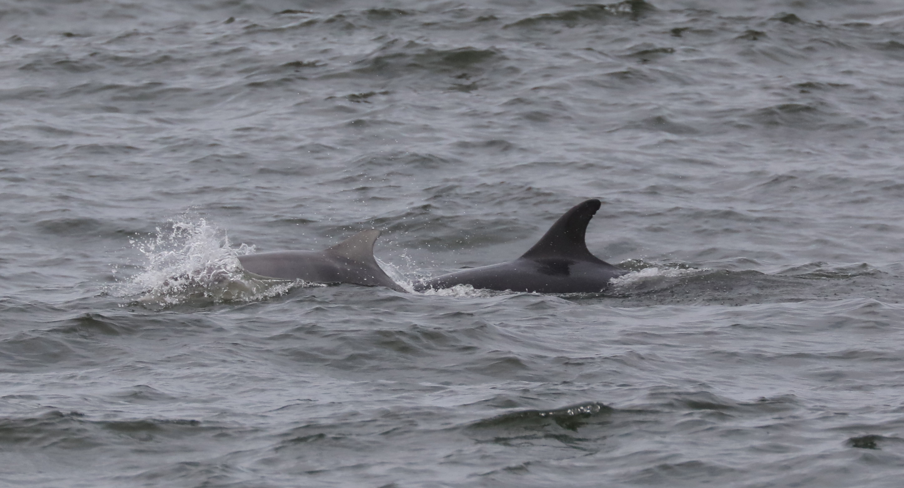 'missing' Moray Firth Dolphin sets up home on island