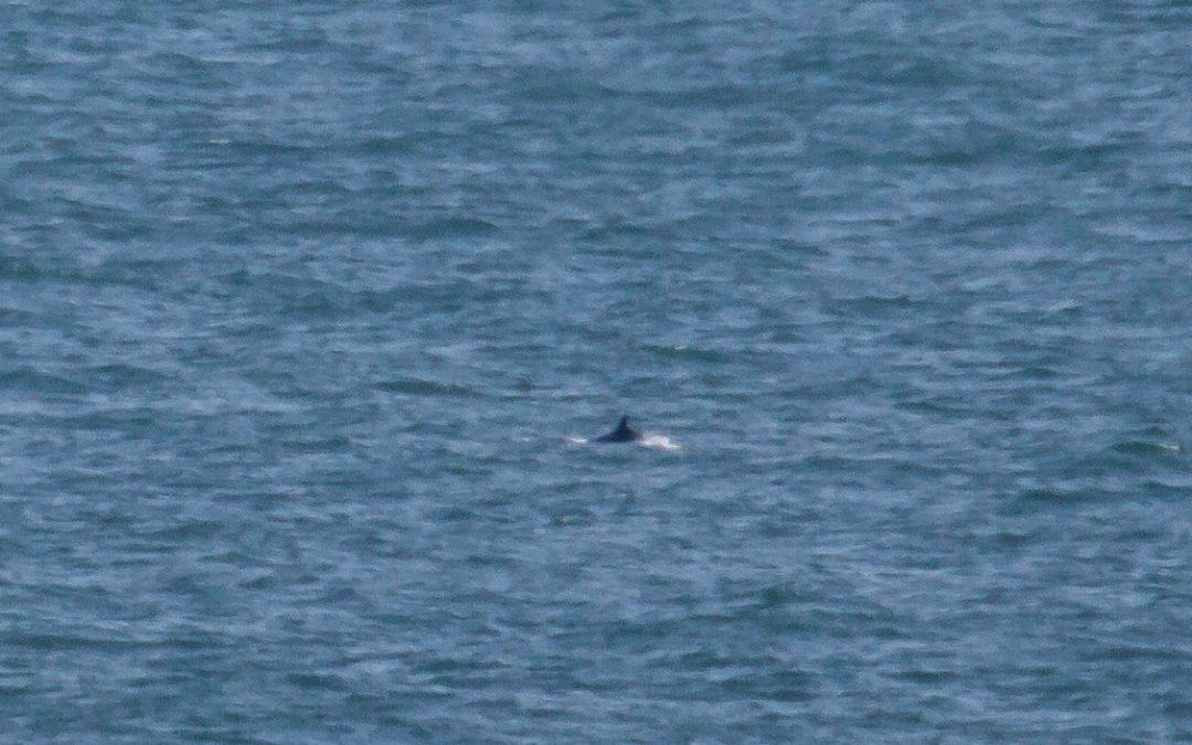 Probable rare Sei whale sighting