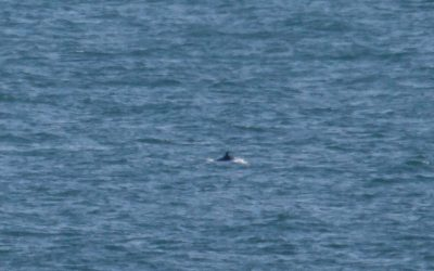 Probable rare Sei whale sighting