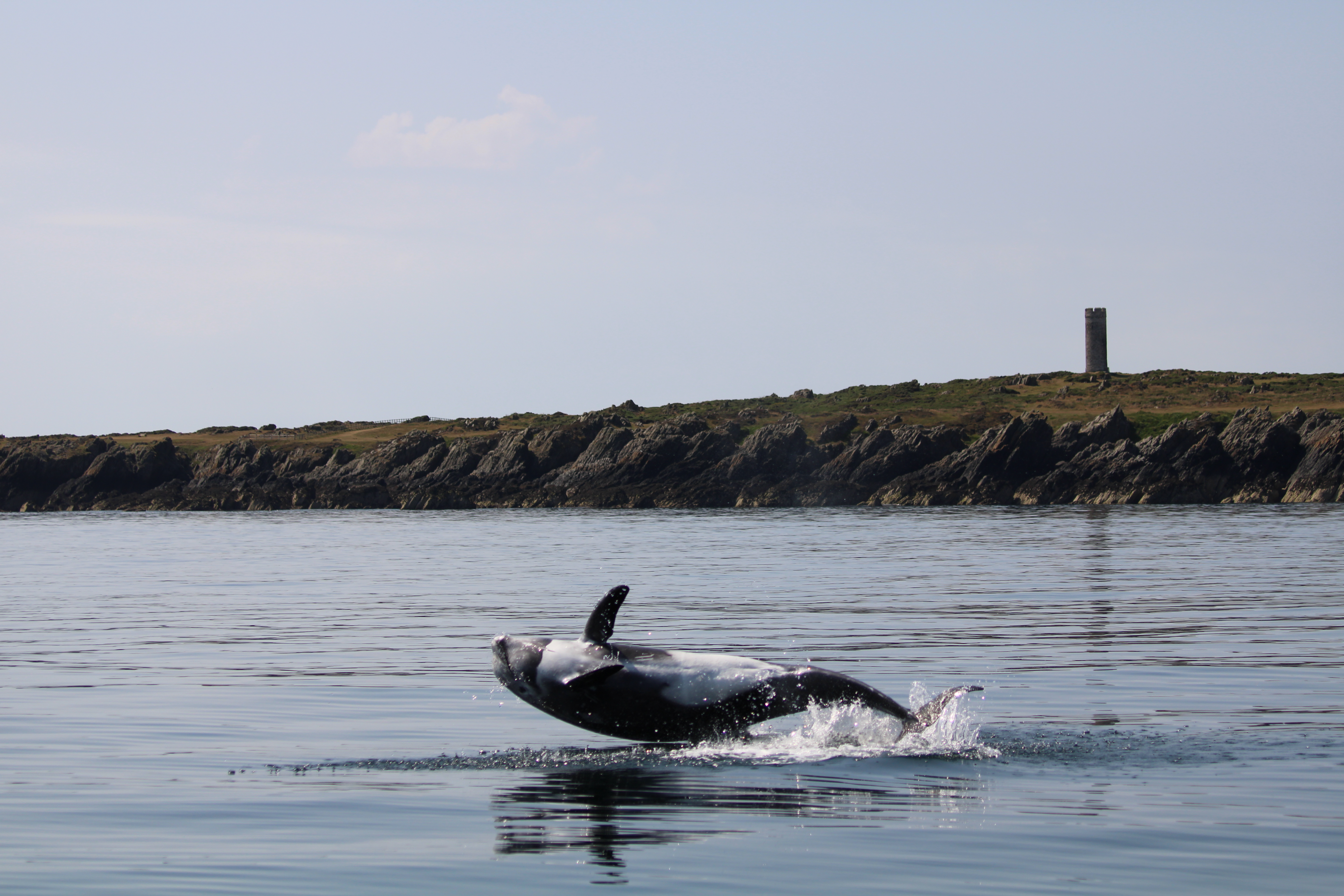 Potential Risso's/bottlenose dolphin hybrid in Manx waters